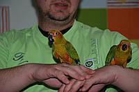 Абсолютно ручные попугаи – лучшее предложение месяца. Птенцы Сенегала и Аратинги.
