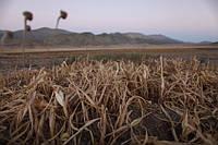 Применение ABFerta в засуху
