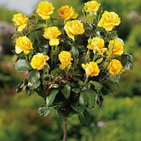 Саженец штамбовой розы Желтой