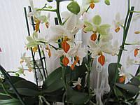 Цветок Орхидея Phalaenopsis Mini Mark