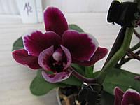 Орхидея Phalaenopsis миди темная