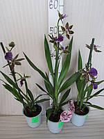 """Орхидея Zygopetalum """"louisendorf"""" Ароматная"""