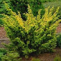 Juniperus chinensis 'Plumosa Aurea' Pa 100