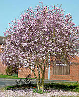 Magnolia x loebneri 'Leonard Messel' 80-120 cm