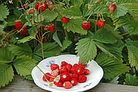Семена клубники Регина сорт безусый плодоносит до осени