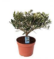 Оливковое дерево комнатное