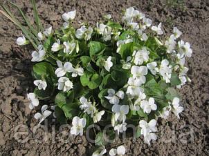 Фіалка сестринська Ельза Камбс (Viola sororia Elza Cumbs), фото 2