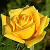Роза чайно-гибридная «Ландора»