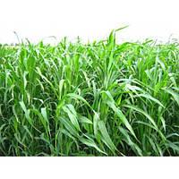Суданка - семена растения выращиваемого как кормовую и продовольственную культуру и в виде зеленого удобрения