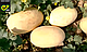 Семена дыни Дакаро F1 \ Dakaro F1 500 семян Enza Zaden, фото 3