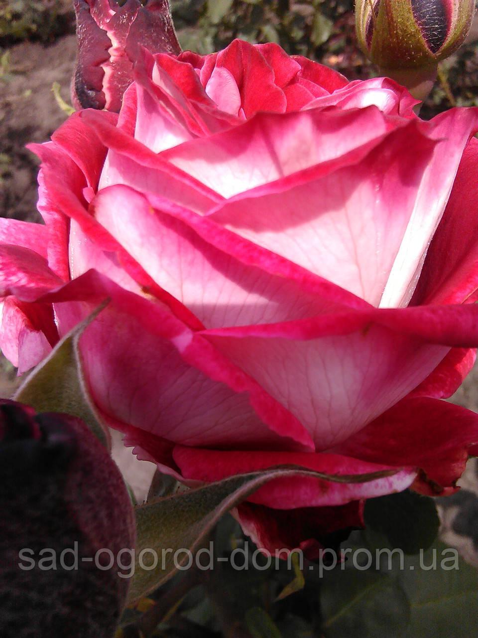 Роза чайно-гибридная Латин леди