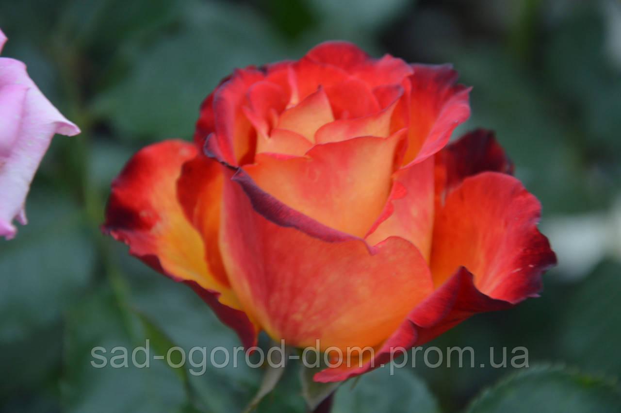 Роза чайно-гибридная Хай меджик (High Magic)