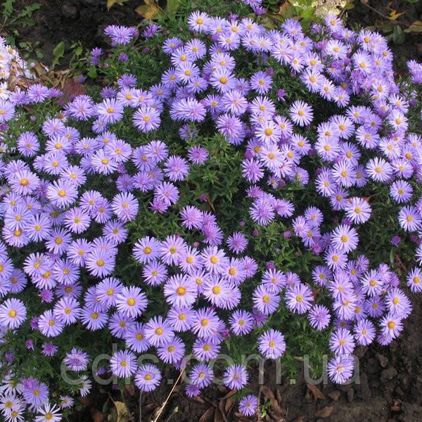 Астра чагарникова низькоросла Blaubox (сентябринка)