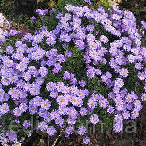Астра чагарникова низькоросла Blaubox (сентябринка), фото 2