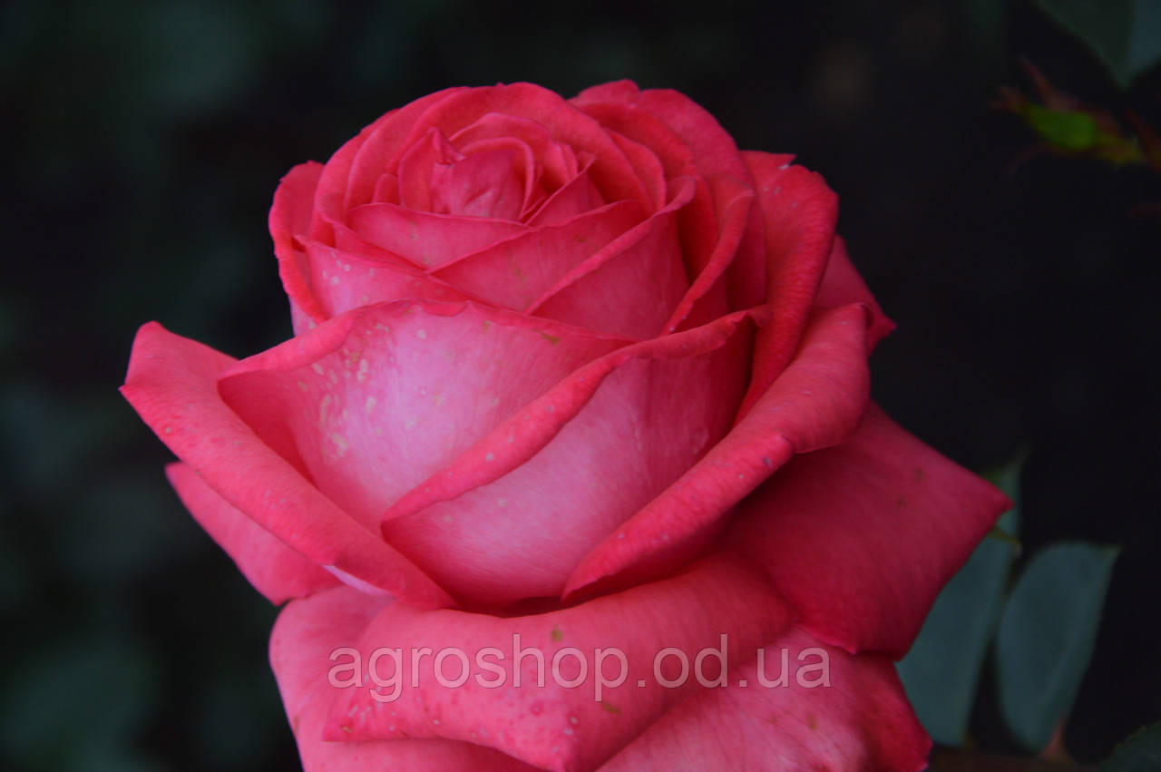 Роза чайно-гибридная Вивр