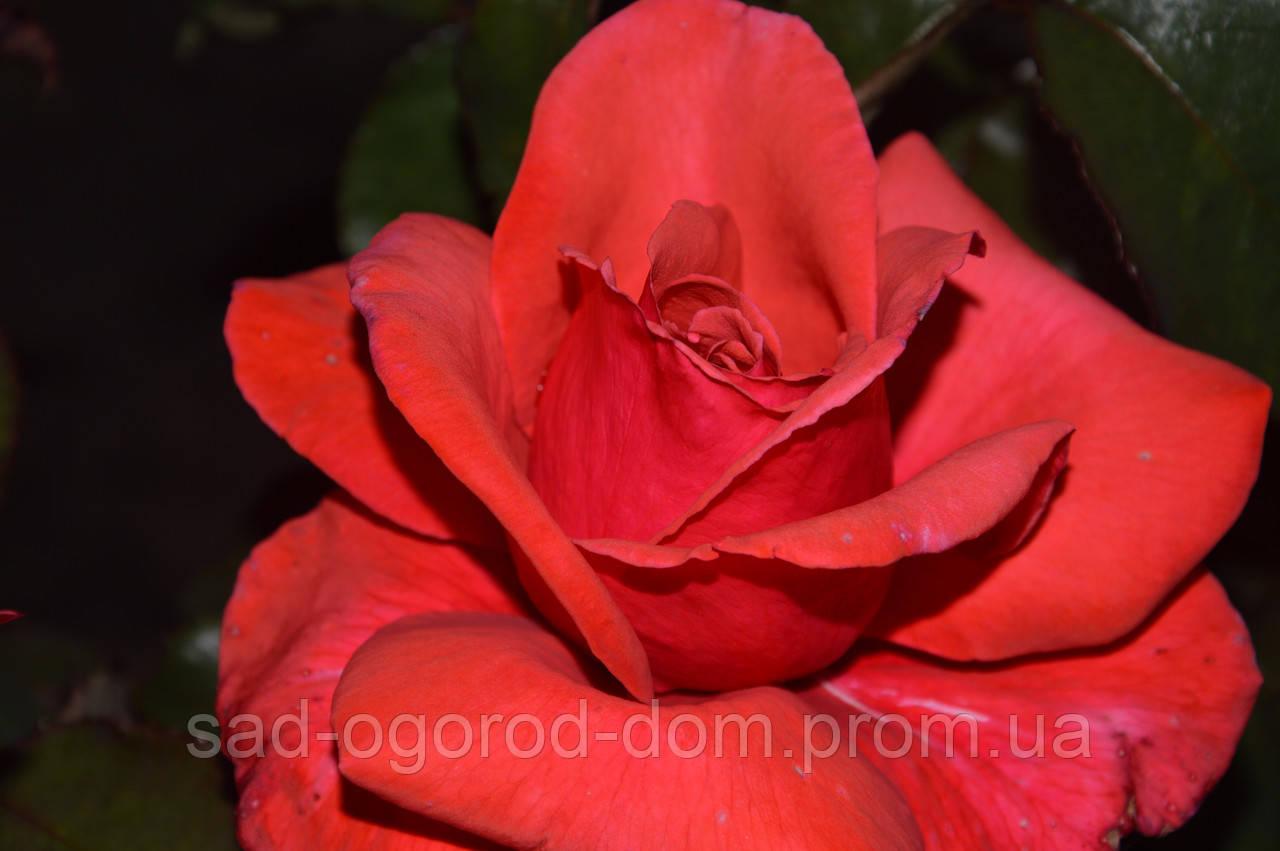 Роза чайно-гибридная Дуфтвольке (Duftwolke)