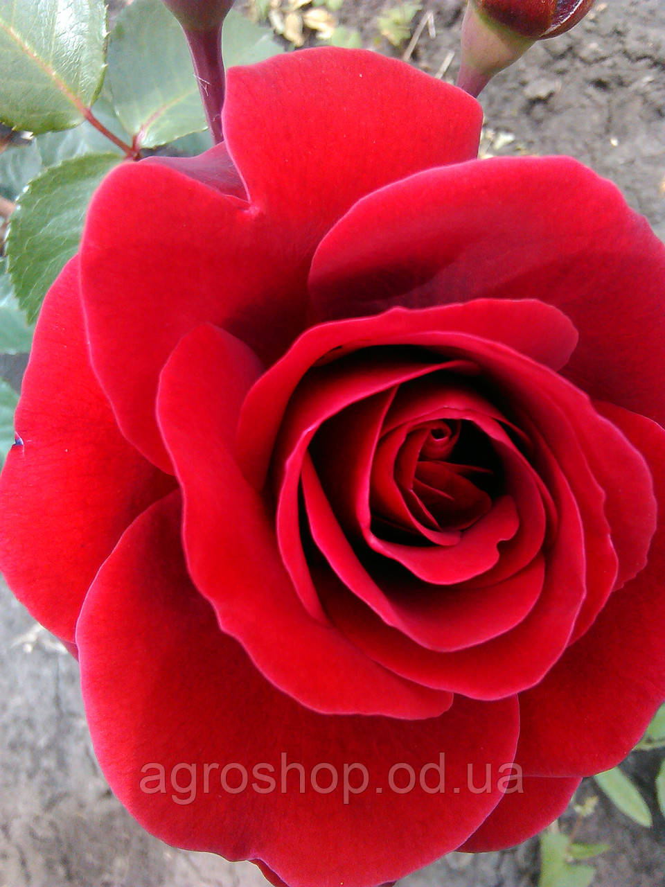 Роза плетистая Нахен Глад (Glad Tidings)