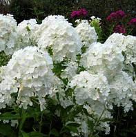 Флокс метельчатый белый