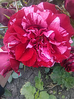 Роза английская (парковая) Дип импрешен (Deep Impression)