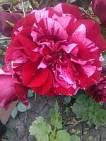 Роза парковая Дип импрешен (Deep Impression)