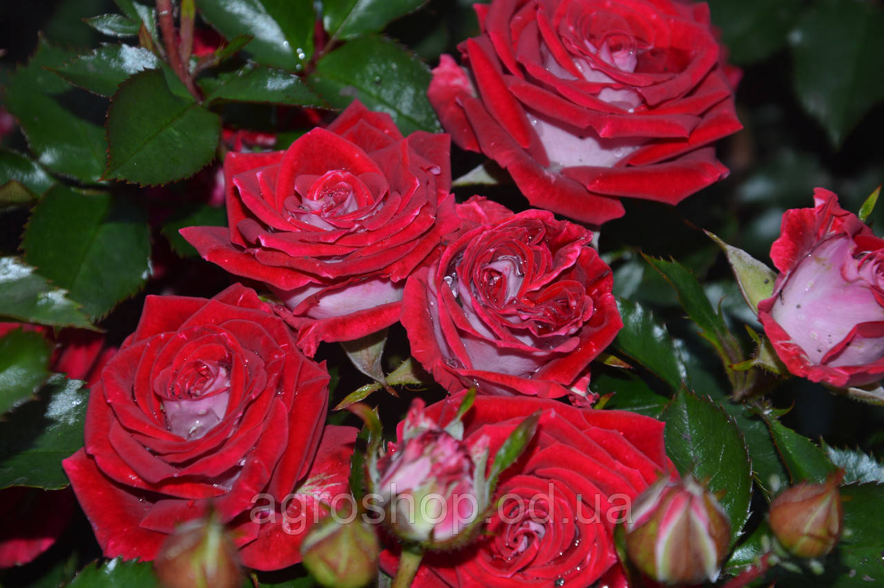 Роза бордюрная Руби Стар  (Ruby Star)