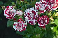 Роза бордюрная Арроу фолиэс  (Arrow Folies)