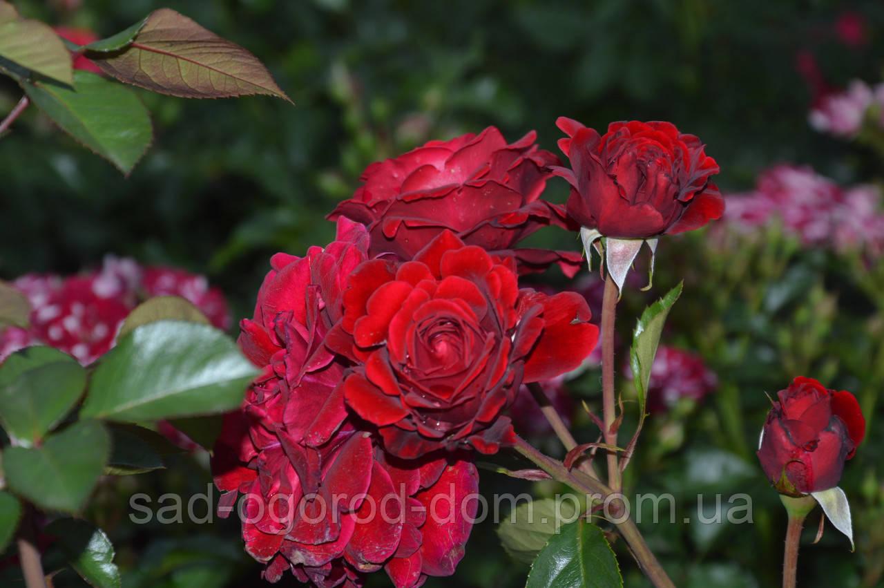 Роза бордюрная Ред вельвет (Red Velvet)