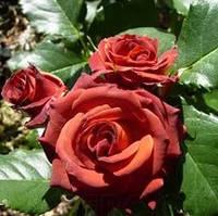 Роза бордюрная Chococcino