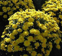 Хризантема желтая ранняя