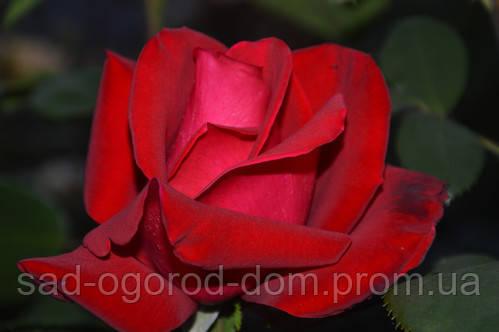 Роза чайно-гибридная Ред стар  (Red Star)