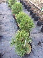 Сосна обыкновенная Глобоза Виридис Pinus sylvestris Globosa Viridis