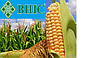Семена кукурузы Амарок ФАО 220 (ВНИИС)