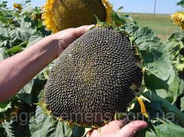 Семена  подсолнечнмка НС-Х-2017 (Сумо)
