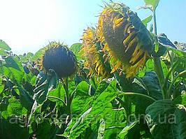 Семена  подсолнечника НСХ 2652