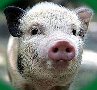 Свинарники