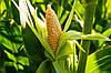 Потребность кукурузы в элементах питания.
