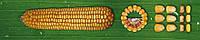 Семена кукурузы Джекпот. Упаковка 1 п.е. (80 000 семян)