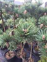 Pinus sylvestris 'Albyns' Сосна обыкновенная привитая на штамб