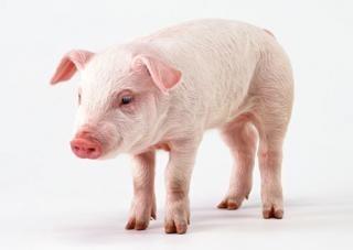Мини-загон для свиней