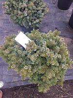 Ель сербская Нана (Picea omorika Nana)