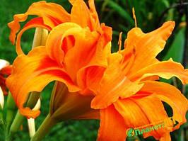 """Луковица Гемерокалис (Лилейник) полный оранжевый, 1 шт, """"Холанд Бульб Маркет"""", Нидерланды."""