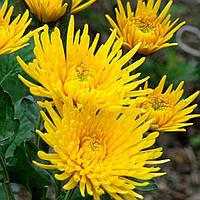 Хризантема корейская ЖЕЛТАЯ ИГОЛКА, фото 1