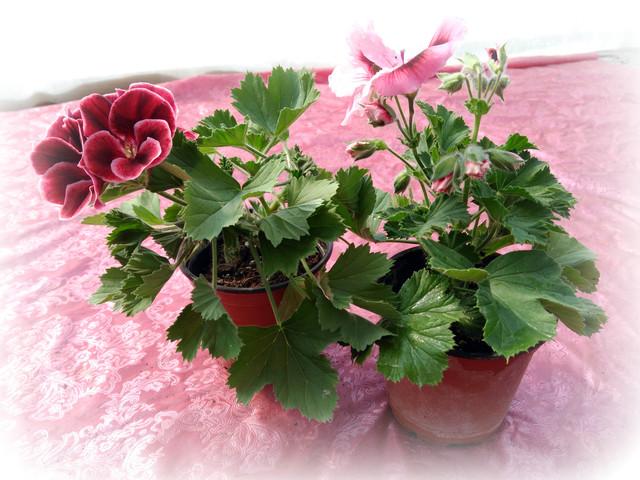 Квіти у горщиках