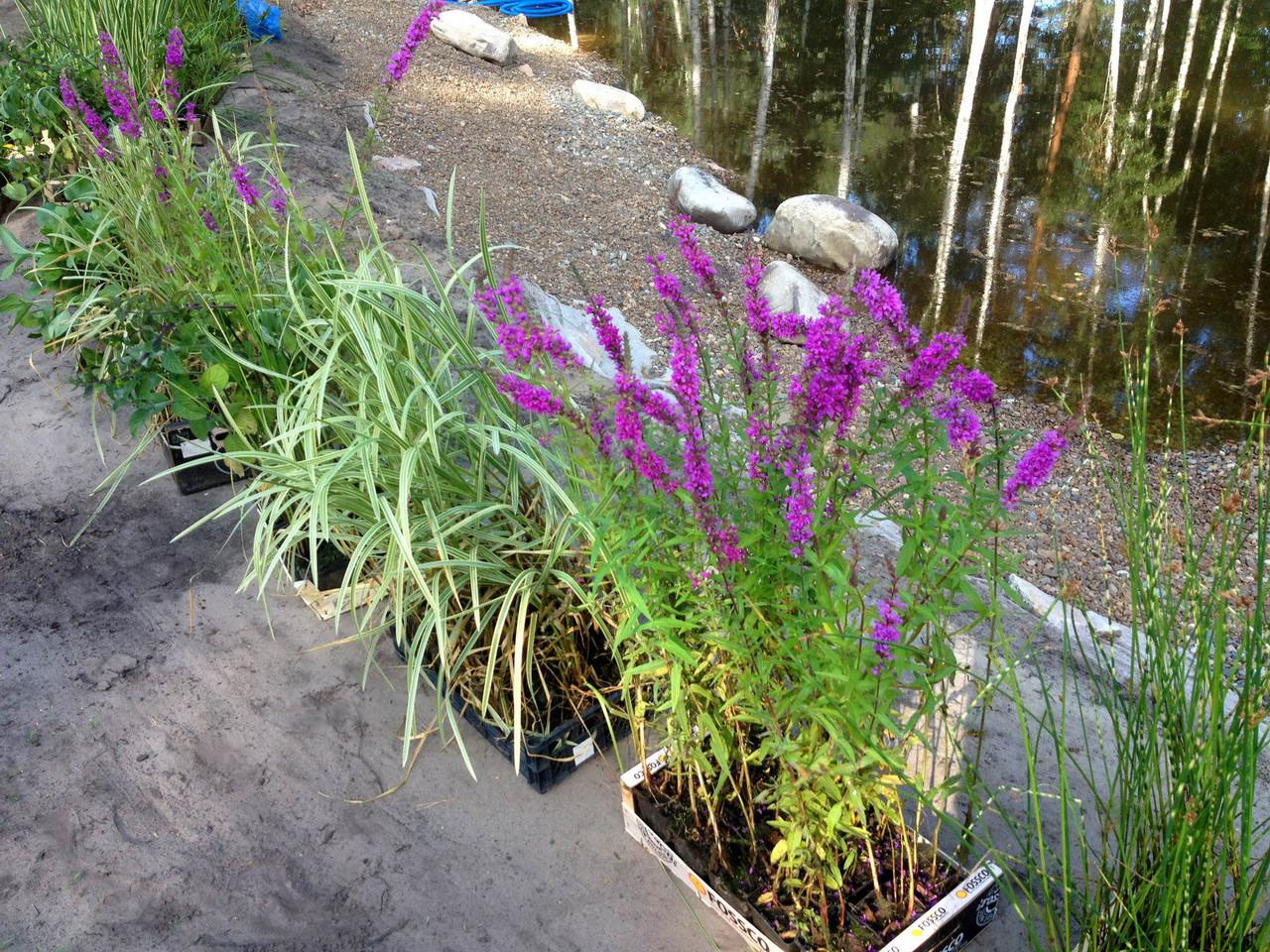 Поставки водных растений на обьект