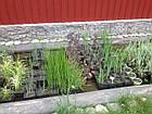 Поставки водных растений на обьект, фото 3