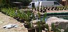 Поставки водных растений на обьект, фото 5