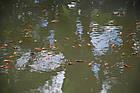 Зарыбление водоема. Разведение декоративной рыбы, фото 5