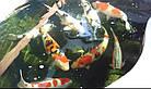 Зарыбление водоема. Разведение декоративной рыбы, фото 7