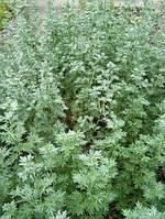 Семена Полынь горькая лекарственная 0,3 гр