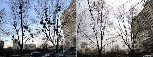 Удаление омелы в Киеве